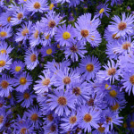 4048 - Wood's Blue Aster flowers