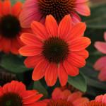 4258 Echinacea-x. 'Balsomcor' flowers