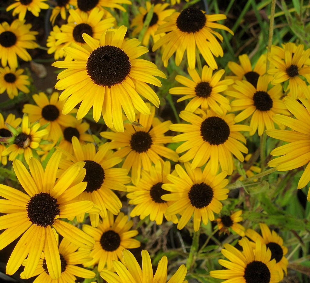 Viettes Little Suzy Black Eyed Susan Wilson Nurseries
