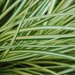 5019 Carex-'Evergold' _CU