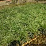 5020 Carex-'Gold Fountains'