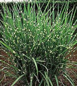 porcupine grass wilson nurseries. Black Bedroom Furniture Sets. Home Design Ideas