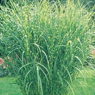 Zebra grass wilson nurseries for 6 foot tall ornamental grass