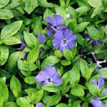 5200 Vinca minor-'Bowles' flowers