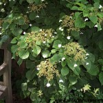 5212 Hydrangea-petiolaris CU-B