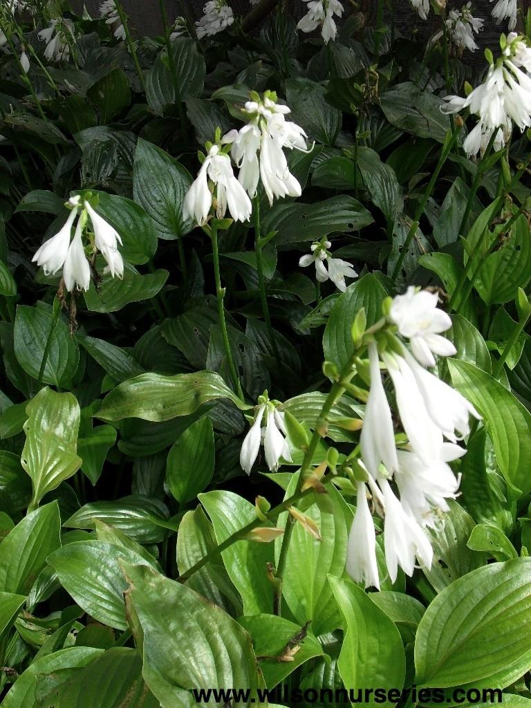 Royal Standard Plantain Lily Wilson Nurseries