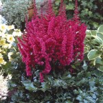 Astillbe chinensis Visions in Red_01