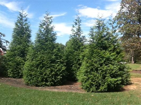 Green giant arborvitae wilson nurseries for Green giant arborvitae