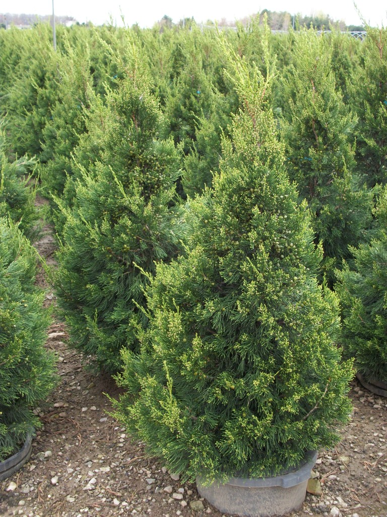 Hetzi columnar juniper wilson nurseries for The juniper