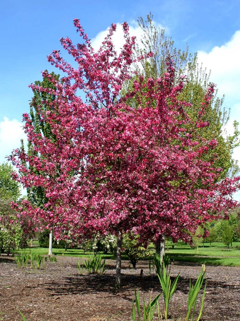 Royal raindrops crabapple wilson nurseries for Crabapple tree