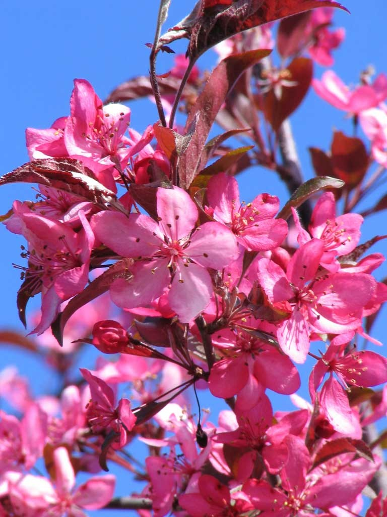 royal raindrops crabapple � wilson nurseries