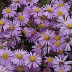 wood's pink aster 3