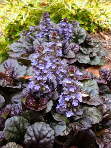 Ajuga Black Scallop Flowers