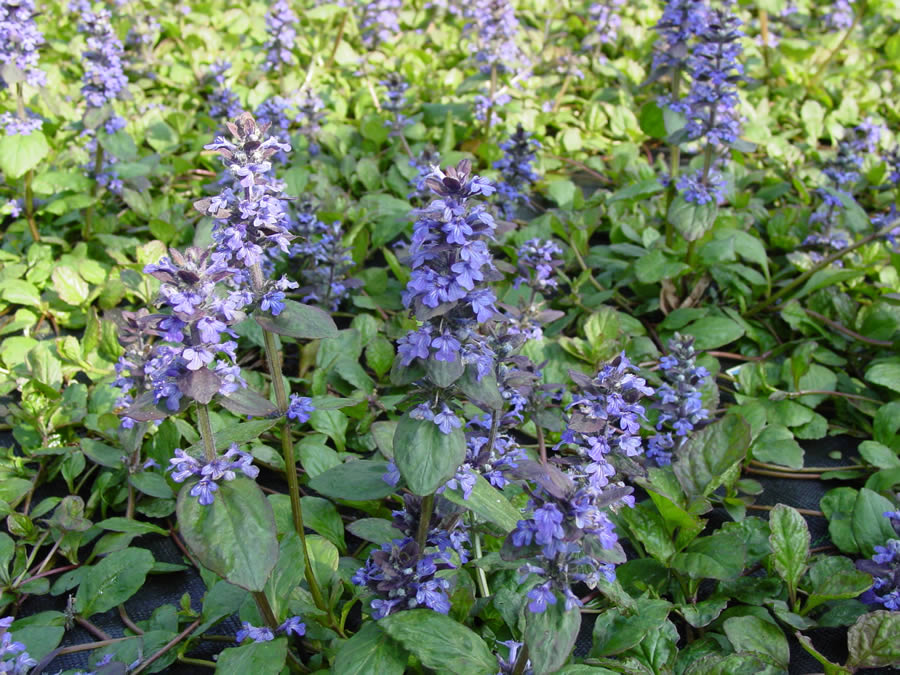 chocolate chip ajuga  wilson nurseries, Natural flower