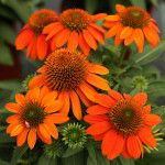 sombrero-adobe-coneflower 2