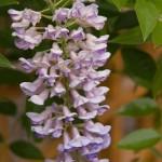 summer cascade wisteria3