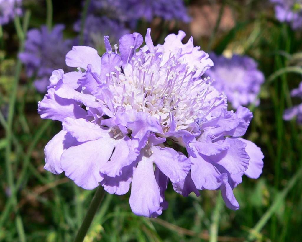 Butterfly Blue Pincushion Wilson Nurseries