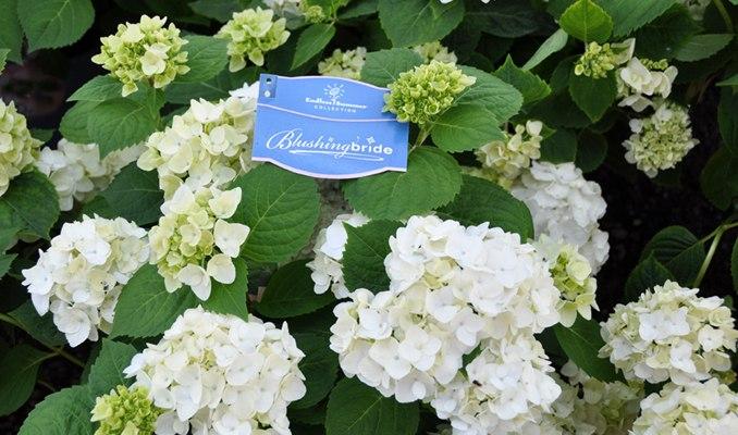 blushing bride hydrangea wilson nurseries. Black Bedroom Furniture Sets. Home Design Ideas