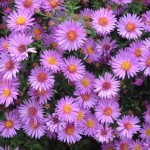 aster woods purple 1