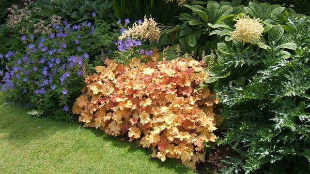 dolce creme brulee coral bells wilson nurseries. Black Bedroom Furniture Sets. Home Design Ideas