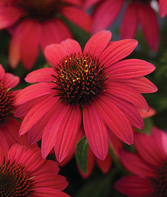 Sombrero baja burgundy coneflower wilson nurseries for Low maintenance fall flowers