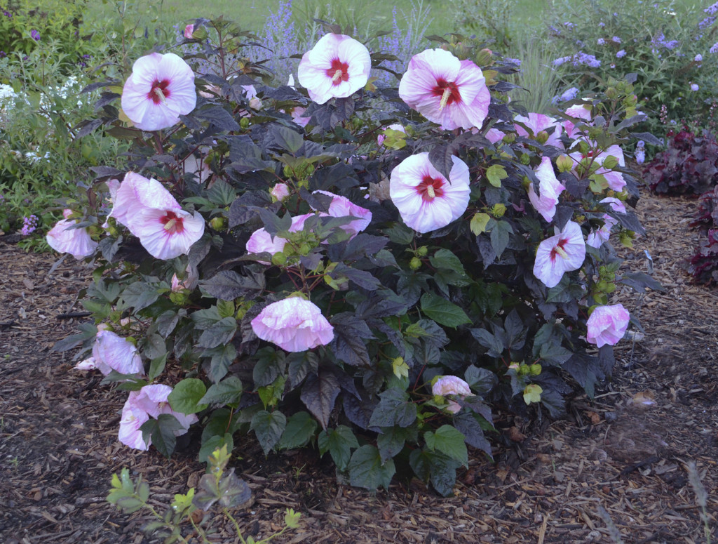 Perfect Storm Rose Mallow Wilson Nurseries