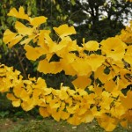 autumn-gold-ginkgo