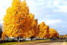 Autumn Gold Maidenhair Wilson Nurseries