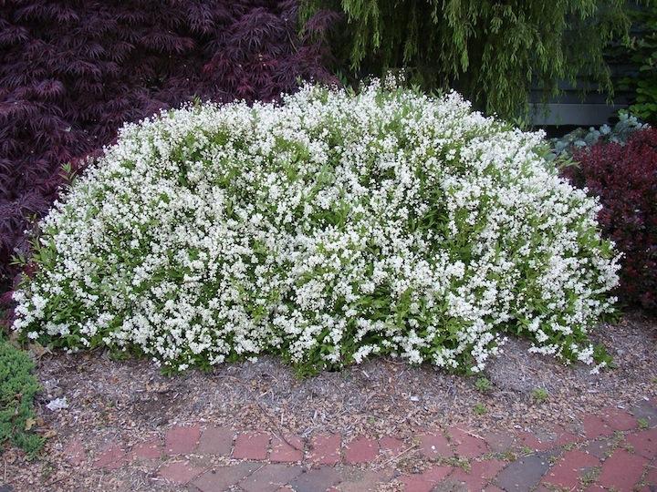 Nikko deutzia wilson nurseries for Low growing flowering shrubs