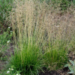 tufted hair grass4