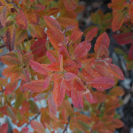 serviceberry rainbow pillar4