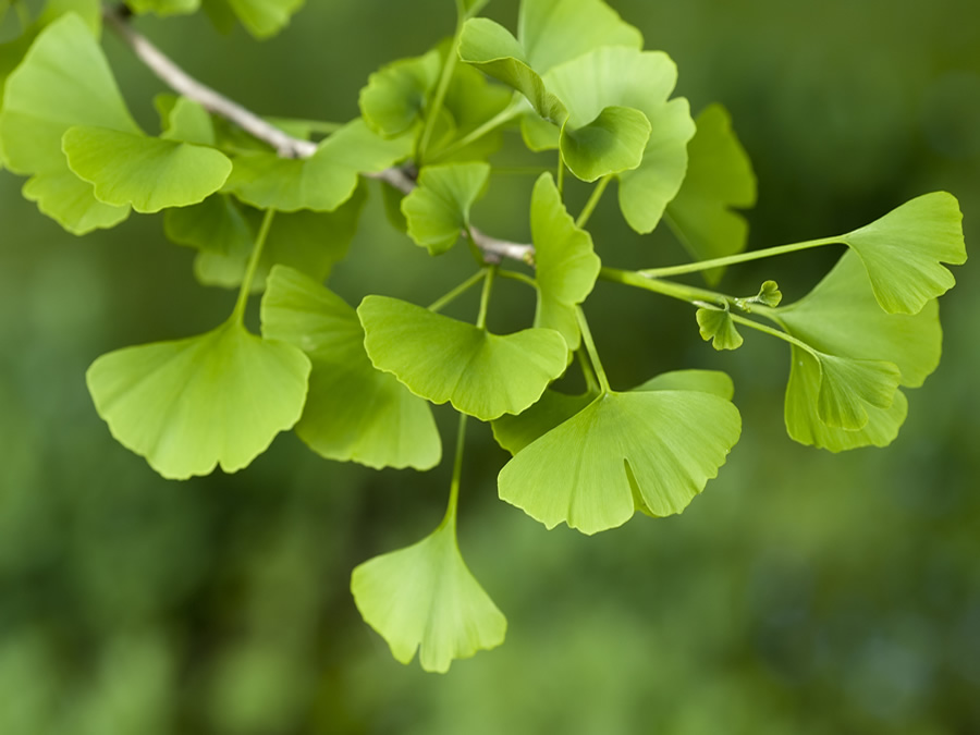 Gingko Biloba Wilson Nurseries