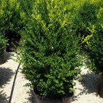 Buxus Green Mountain natural