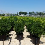 Buxus Green Mountain natural_bed