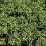 Carex Evergold_bed
