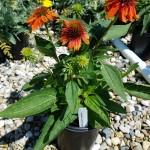 Echinacea Adobe Orange