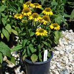 Echinacea Sombrero Lemon Yellow