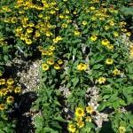 Echinacea Sombrero Lemon Yellow_bed
