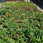 Echinacea_mixed bed