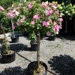 Rosa Polar Joy Tree Rose