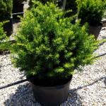 Taxus densiformis #5