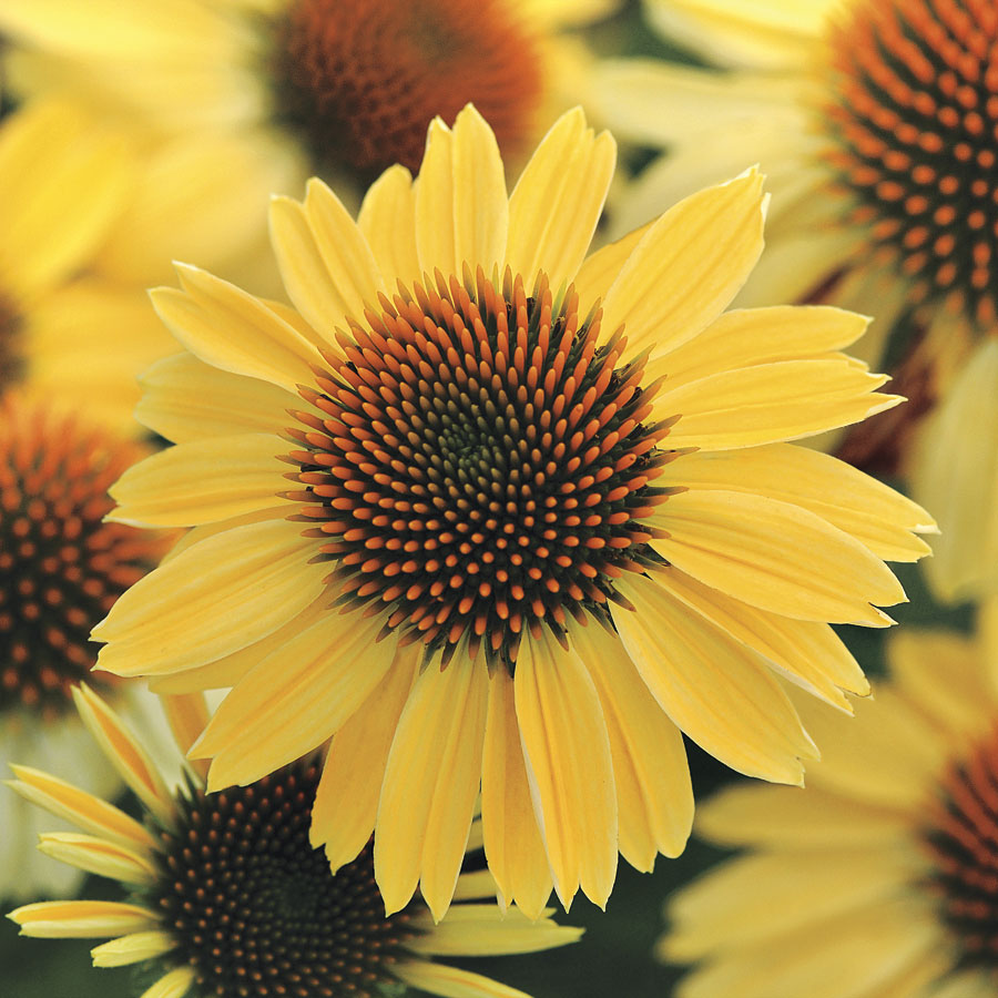 Sombrero sandy yellow coneflower wilson nurseries cheerful bright yellow blooms will brighten the summer border a must have for cut flower garden this drought tolerant perennial was bred for cold mightylinksfo
