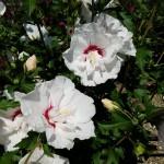Hibiscus Bali