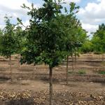 Quercus Bur