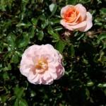 Rosa Apricot Drift