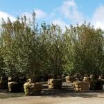 Viburnum prunifolium_block