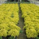 golden mop falsecypress